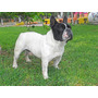 Bulldog Frances Alquilo Monta Hijo De Polar Bear Pedigree