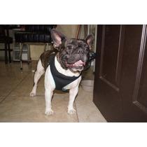 Bulldog Frances Con Pedigree Internacional Renta Para Monta