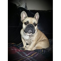 Bulldog Frances, Semental Para Cruza.