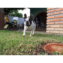 Bulldog Francés Hijo De Ruso Fandorin Iz Kuntsevo Para Cruza