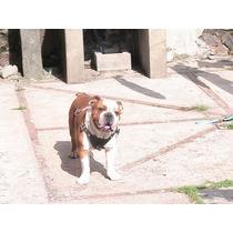 Semental Bulldog Inglés Para Cruza Pedigree Del Akc Y Mexico