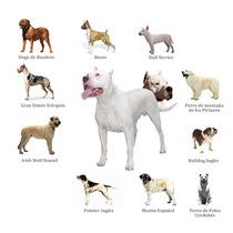 Dogo Argentino Rento Para Monta. Raza Y Padres Certificados