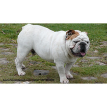 Bulldog Ingles Semental Con Pedigree Internacional Azul