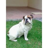 Semental Bulldog Ingles
