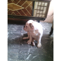 Cachorro Bull Dog Ingles , Semental , Hermoso, 100%autentico