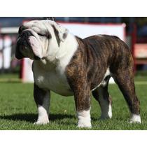 Semental Bulldog Inglés Cherokee Legend Ali Importado Eeuu