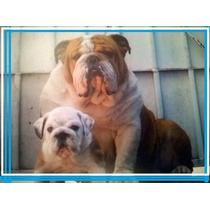 Bulldog Inlges Alquilo Gran Semental Con Pedigree Inter.