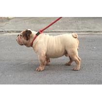 Renta De Excelente Semental Bulldog