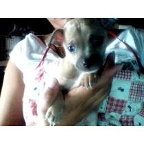 Cachorros Chihuahua Preciosos Y Juguetones.