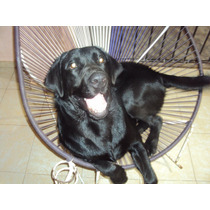 Hermoso Labrador Busca Novia