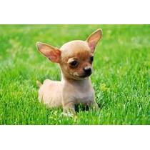 Chihuahuas Miniatura Excelente Calidad