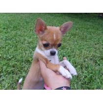 Chihuahua, Semental Chihuahueño Para Cruza En Monterrey