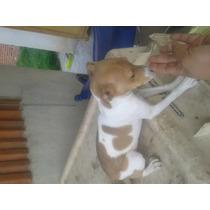 Ultima Cachorra Chihuahua Cabeza Venado