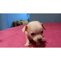 Ermoso Cachorrito Chihuahua Desparasitado Sanito Un Mes Ya C