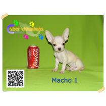 Cyber Chihuahuas La Mejor Opcion Chihuahueños Blanco