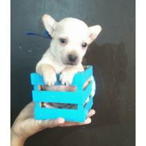 Chihuahuas Minitoy