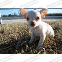 Gran Oferta Cachorros Chihuahueños D Bolsillo Miniaturas Fcm
