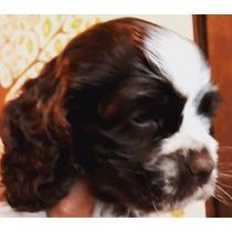 Cachorra Cocker Spaniel Americano Particolor