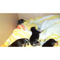 Se Venden Cachorros Salchichas 1500 Negociables
