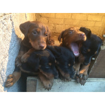 Hermosos Cachorritos Doberman