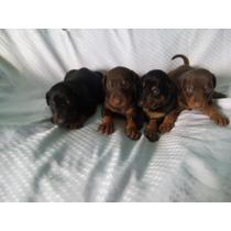 Cachorros Doberman Golondrino Y Sepia