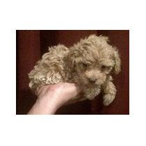 Lindo Cachorrito French Poodle Tacita Mini Champagne