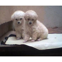 Cachorritos French Poodle, Pagalos A 12 Mensualidades!