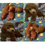 Ultimos 3 Cachorritos French Poodle Rojo Vino Minitoy