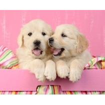 Hermosos Cachorros Golden Retriever 100% Raza Pura