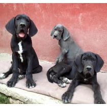 Cachorros De Dogo Aleman, Padre Importado De Alemania.