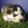 Preciosos Cachorros Husky Siberiano Ojos Azules