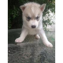 Cachorros Husky Siberiano 100% Raza Pura