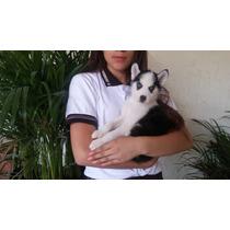 !! Hermoso Cachorro Husky Siberiano ( Cambio Por Celular )!!