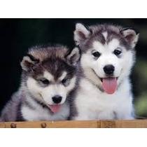Cachorros Husky Siberiano 100% Original