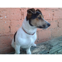 Jack Rusell Terrier Disponible Para Montas