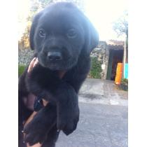 Labrador Negros Con Garantia Impresa De Salud, Pureza Racial
