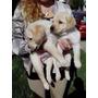 Labrador Cachorros De Legitimos