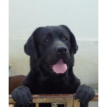 Labrador Retriever Semental Disponible
