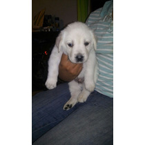 Se Venden Cachorros Labradores De 1 Mes De Nacido