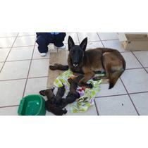 - Cachorros Pastor Belga Malinois - Seguridad - De Linea -