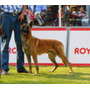 Cachorros Pastor Belga Malinois Línea Campeones Pedigree Int