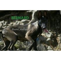 Cachorro Pastor Belga Malinois, Pedigree Fcm