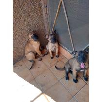Preciosos Cachorros Pastor Belga Malinois