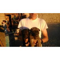 Cachorros Belga Malinois 100 Dls