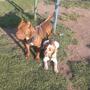 Hermosos Cachorros American Pitbull $2000 A Tratar