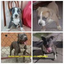 Vendo Cachorros Pitbull Blu Faun Macho Y American Blue Hembr