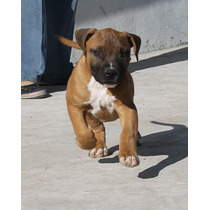 Pit Bull Terrier Americano - Hermosos Cachorros