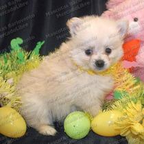 Gran Oferta Cachorros Pomerania Zorritos Aptos Registro Fcm