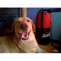 Bonito Cachorro Labrador De 9 Meses De Edad En Adopcion