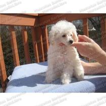 Gran Oferta French Poodle Minitoy Borreguitos Registro Fcm